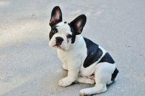 Wie viel kostet eine Französische Bulldogge?