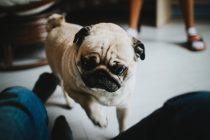 Auf den Hund gekommen – Wie viel kostet ein Mops?
