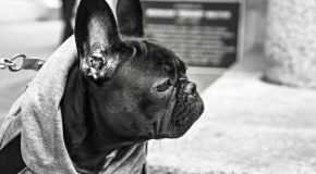 Hundemantel-bulldogge