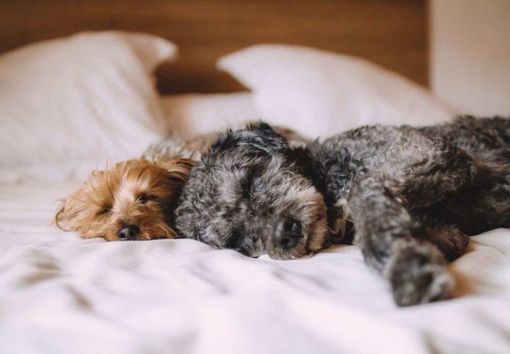 Deshalb sollte Ihr Hund mit Ihnen im Bett schlafen